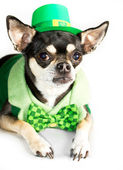 St. Patrick's Day Chihuahua — Stock Photo