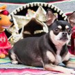 Cinco De Mayo Chihuahua — Stock Photo