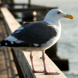 Stock Photo: Seagull on Pier Profile View