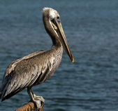 Brown Pelican on Fence — Stock Photo