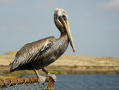 Brown Pelican Perched on Fence — Stock Photo