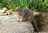 Cute Ground Squirrel — Stock Photo