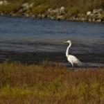 Great White Egret — Stock Photo #10184012