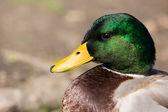 Profile View Male Mallard Duck — Stock Photo