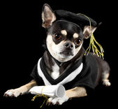 Graduation Dog — Stock Photo