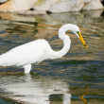 Great White Egret — Stock Photo #10290853
