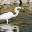 Great White Egret - Stock Photo