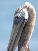 Pelicano marrom — Fotografia Stock