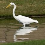 Great White Egret — Stock Photo #10493358