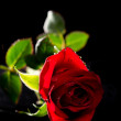 Red Rose Isolated on Black — Stock Photo #10493823