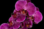 Pink & White Orchids On Black Background — Stock Photo