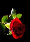 Red Rose Isolated on Black — Stock Photo