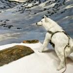 Arctic wolf — Stockfoto