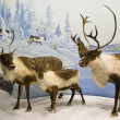 Caribou herd - Stock Photo