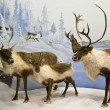 Stock Photo: Caribou herd