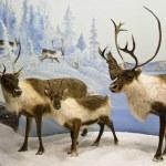 Caribou herd — Stock Photo