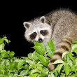 Royalty-Free Stock Photo: Night Raccoon