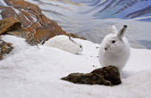 Arctic Hares — Stock Photo