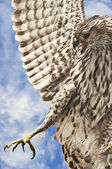 Broad – winged hawk — Fotografia Stock