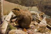 Beavers Working — Stock Photo