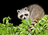 Night Raccoon — Stock Photo