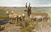 Pronghorn Trio — Stock Photo