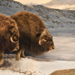 Stock Photo: Muskox Duo
