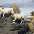 Thinhorn Sheep Trio — Stock Photo