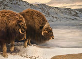 Muskox Duo — Stock Photo