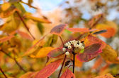 Dogwood fruit among the colorful leaves — Stock Photo