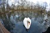 Swan - lord of the pond — Stock Photo