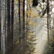 The sun's rays in a misty spruce forest - Stock Photo
