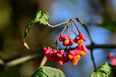 Bunch Of Flowers And Fruits Of Euonymus — Stock Photo