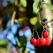 Red fruits on the branch — Stockfoto