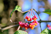 Bunch of flowers and fruits of Euonymus and the little spider — Stock Photo