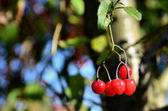 Red fruits on the branch — Stock Photo