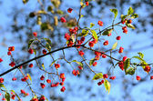 Fruitful euonymus branch on sky background — Stock Photo