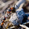 Forest ant — Stock Photo