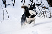 Siberian Husky running in snow — Stock Photo