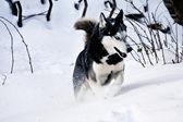 Siberian husky läuft im schnee — Stockfoto