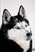 Snowy siberian husky — Zdjęcie stockowe