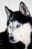 Siberian husky o niebieskich oczach — Zdjęcie stockowe