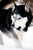 Siberian husky w śniegu — Zdjęcie stockowe