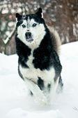 Husky siberiano correndo — Foto Stock
