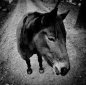 Cheval j'ai noir et blanc — Photo