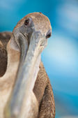 Close-up of Pelican looking at Camera — Stock Photo