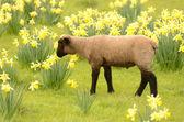 Suffolk Lamb — Stock Photo