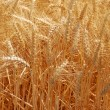 Summer Wheat - Stock Photo