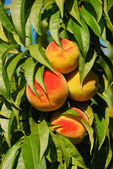 Peach Tree — Stock Photo