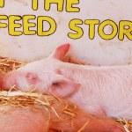 Baby Pigs — Stock Photo